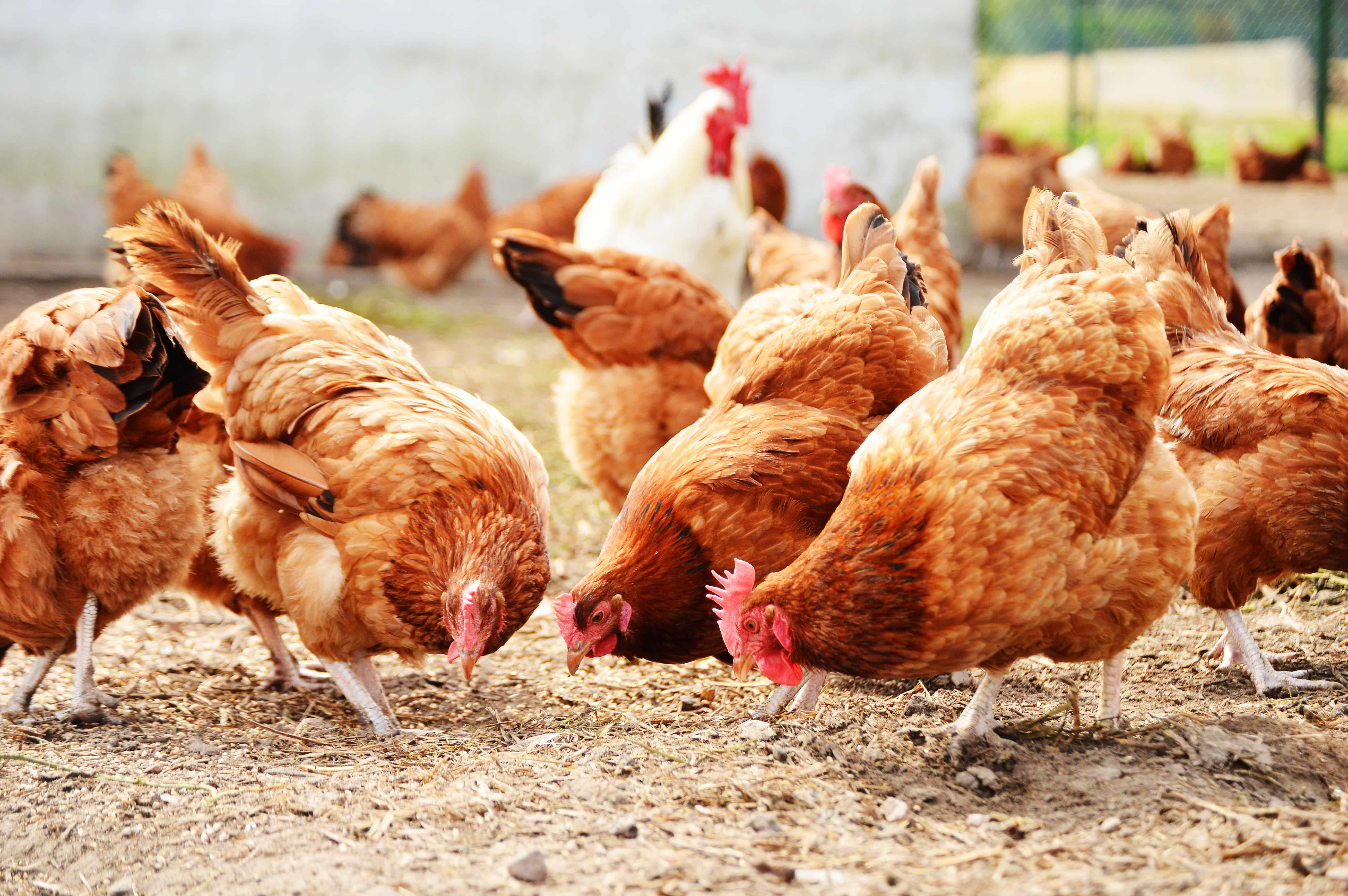 chickens-can-microbes-enhance-the-health-of-animals-in-your-poultry-farm-min